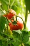 Tomates organiques mûres Photographie stock