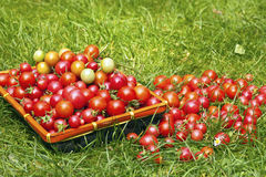 Tomates organiques rouges mûres Images stock
