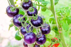 Tomates púrpuras de la herencia en la vid en un jardín fotografía de archivo