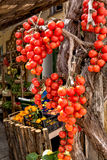 Tomates pendurados Fotografia de Stock Royalty Free