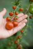 Tomates pequenos em uma refeição matinal Imagem de Stock
