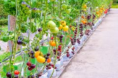 Tomates pourpres d'héritage sur la vigne dans un jardin photos libres de droits