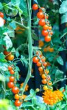 Tomates preparados en el jardín fotos de archivo