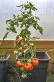 Tomates producidos en un pote en un invernadero Fotos de archivo libres de regalías