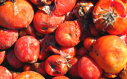 Tomates putréfiées photo stock