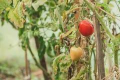 tomates putréfiées Photographie stock