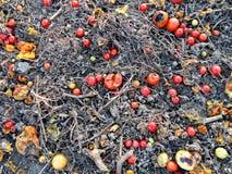 tomates putréfiées Images libres de droits