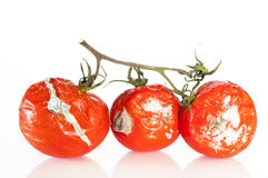 Tomates putrefactos Imagenes de archivo