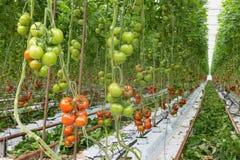 Tomates que amadurecem em uma estufa Foto de Stock Royalty Free