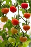Tomates que amadurecem em uma videira Imagens de Stock Royalty Free