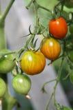Tomates que amadurecem na planta Fotografia de Stock Royalty Free