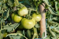 Tomates que amadurecem-se na planta em detalhe Fotos de Stock