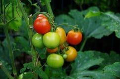 Tomates que crecen en jardín Imagen de archivo