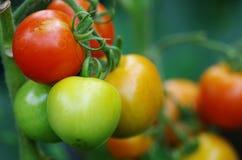 Tomates que crecen en jardín Imagenes de archivo
