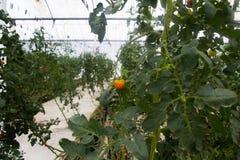 Tomates que crecen en un invernadero comercial con hidrocultivo Fotos de archivo