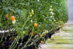 Tomates que crecen en un invernadero comercial con hidrocultivo Imagenes de archivo