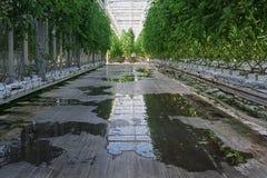 Tomates que crecen en un invernadero grande en los Países Bajos fotografía de archivo