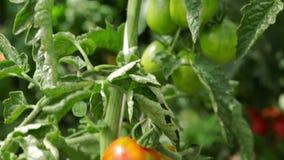 Tomates que crescem em um arbusto na estufa video estoque