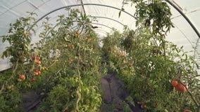 Tomates que crescem em uma estufa 4K UHD filme