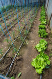 Tomates que crescem na estufa Fotografia de Stock Royalty Free