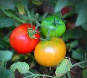Tomates que crescem na videira Fotos de Stock Royalty Free