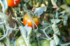 Tomates que se maduran en planta de una huerta Foto de archivo libre de regalías