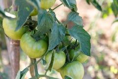 Tomates que se maduran en planta en una huerta Imagen de archivo