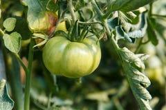 Tomates que se maduran en planta en una huerta Imagenes de archivo