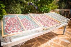 Tomates que secam sob o sol Foto de Stock Royalty Free