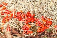 Tomates rojos Fotos de archivo libres de regalías