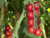 Tomates rojos Imágenes de archivo libres de regalías