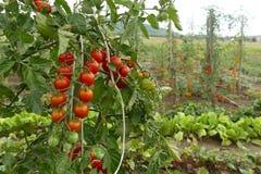 Tomates rojos en el jardín Imagen de archivo libre de regalías