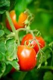 Tomates rojos en una ramificación Fotos de archivo libres de regalías