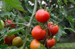 Tomates rojos frescos en jardín imágenes de archivo libres de regalías