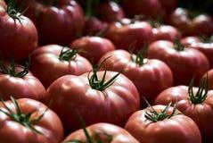 Tomates rojos frescos fondo, primer farming Agricultura imagen de archivo libre de regalías