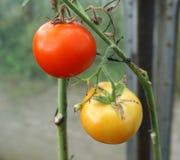 Tomates rojos grandes Fotos de archivo libres de regalías