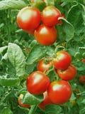 Tomates rojos maduros Fotografía de archivo