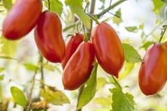 Tomates rojos maduros alargados Imágenes de archivo libres de regalías