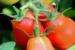 Tomates rojos maduros en el jardín Crecimiento del tomate Cosecha de los tomates en un huerto primer fotografía de archivo