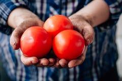 Tomates rojos maduros frescos en manos de un granjero Foto de archivo