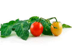 Tomates rojos mojados maduros con las hojas aisladas Fotos de archivo libres de regalías