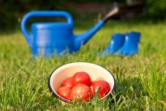 Tomates rojos Regadera y botas de goma Utensilios de jardinería en un césped verde Foto de archivo libre de regalías