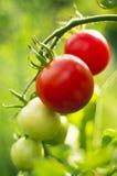 Tomates rojos y verdes Fotos de archivo libres de regalías
