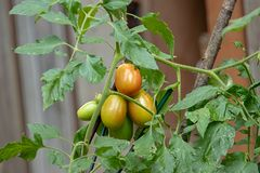 tomates rojos y verdes de Roma en la vid imagen de archivo libre de regalías