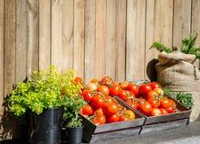 Tomates rondes rouges dans la boîte en bois avec les arbres verts dans les pots noirs et le sac brun, tous qu'ils ont mis contre  image libre de droits