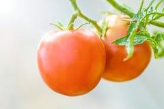 Tomates rouges et juteuses Photographie stock libre de droits