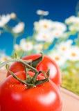 Tomates rouges et mûres fraîches. Image stock