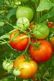Tomates rouges et vertes en serre chaude photographie stock