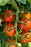 Tomates rouges s'élevant sur les branches Photographie stock libre de droits