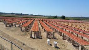 Tomates séchées au soleil à la ferme Photographie stock libre de droits